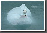 Sea gull on ice floe